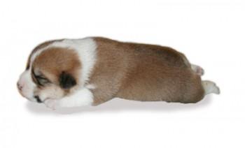 コーギー仔犬