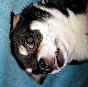 犬 目のシミ