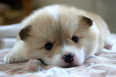 コーギー 仔犬